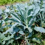 Cavolo Nero kale (CC BY 2.0 licenced Dwight Sipler (flickr))