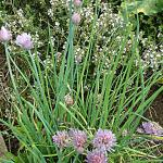 Chive flowers (foreground)