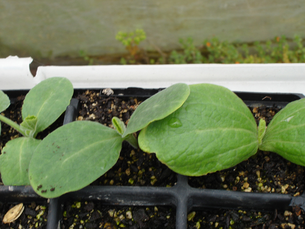 Growing Zucchini Courgette Marrow Summer Squash In New