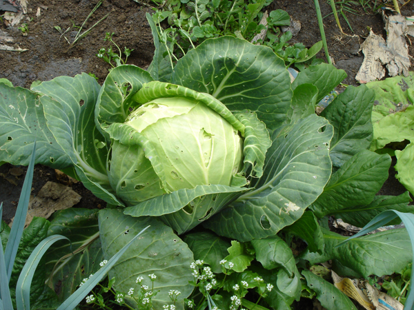 Growing Cabbage In New Zealand Cool Mountain Climate